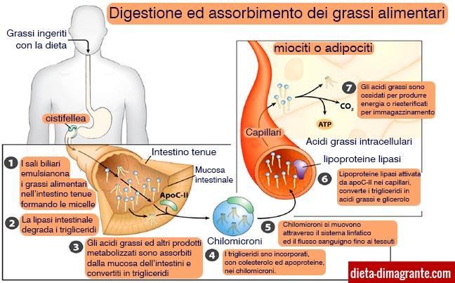 Digestione ed assorbimento dei lipidi