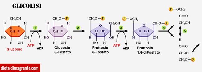 Assorbimento e metabolismo dei glicidi