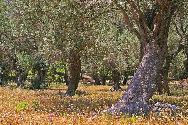 Perché è importante difendere l'olio di oliva made in Italy